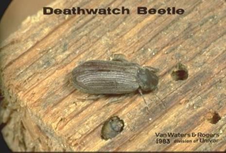 Varied Carpet Beetle Higher Clification Carpet Vidalondon