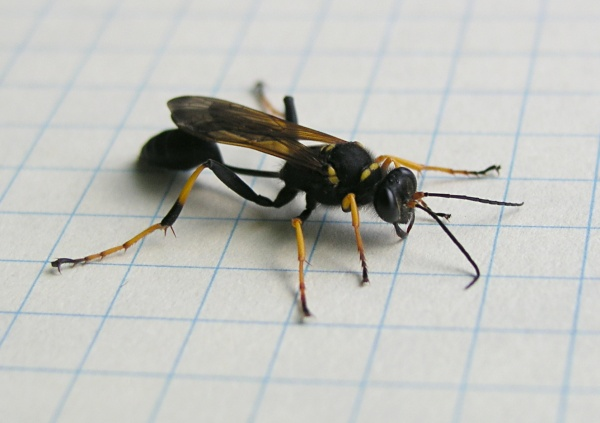 Wasp Sting Reaction Symptoms Treatments and Remedies