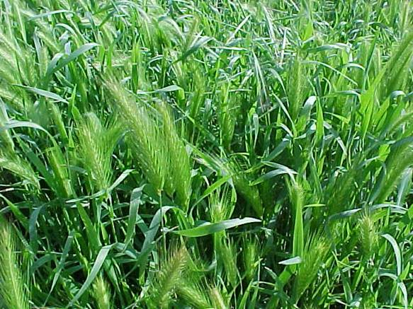 Flower heads are dense    189  to 4 inches long withconspicuous awns Foxtail Barley Seedling