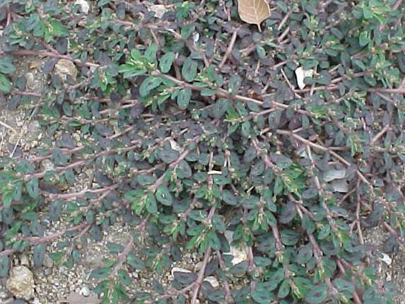 pigweed picture