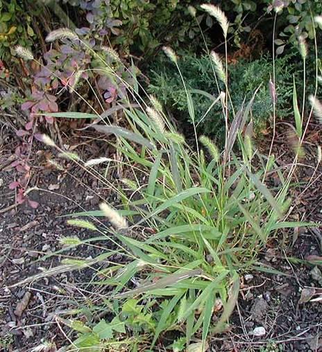 identifying grass types